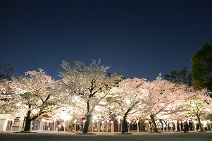三嶋大社夜桜の写真